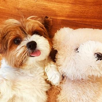 dog_teddy
